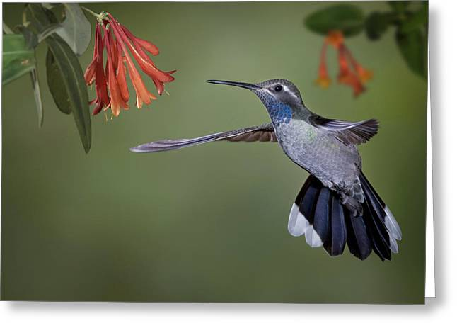 Usa, Arizona A Blue-throated Greeting Card by Jaynes Gallery