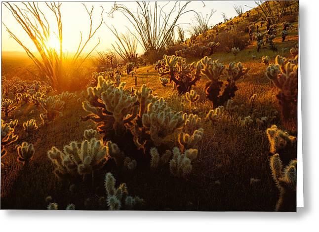 Usa, Arizona, Sonoran Desert, Ocotillo Greeting Card by Panoramic Images