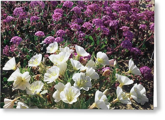 Usa, California, Anza Borrego Desert Greeting Card by Christopher Talbot Frank