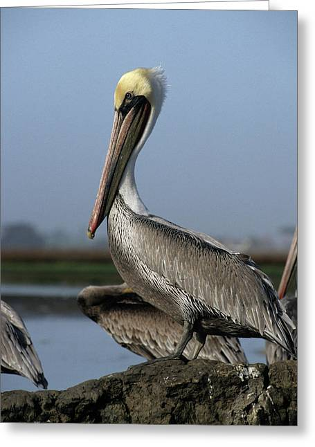 Usa, California, Brown Pelicans Greeting Card