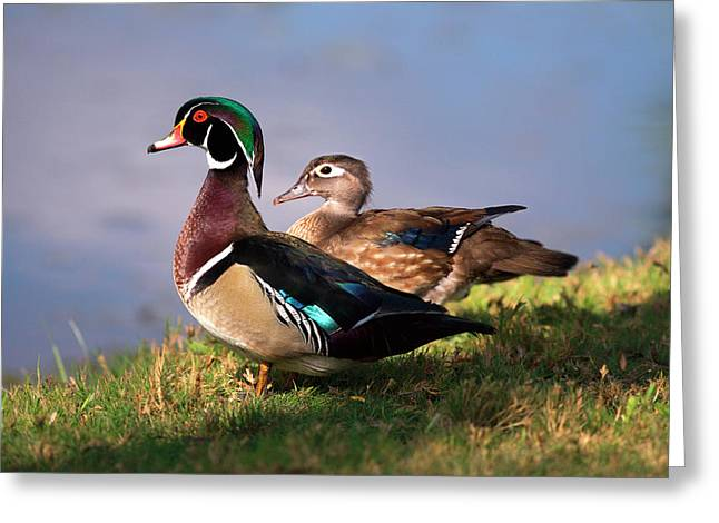 Usa, California, Lakeside, Wood Duck Greeting Card by Jaynes Gallery
