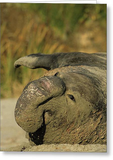 Usa, California, Northern Elephant Greeting Card by Gerry Reynolds