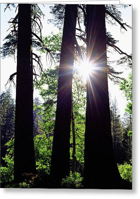 Usa, California Old-growth Red Fir Greeting Card by Jaynes Gallery
