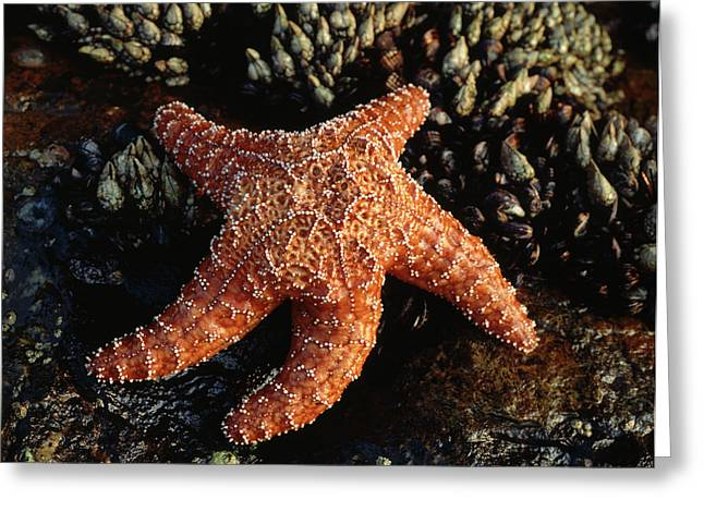 Usa, California, San Diego, A Starfish Greeting Card by Christopher Talbot Frank