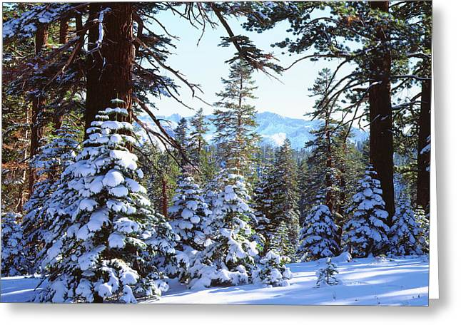 Usa, California, Snow-covered Red Fir Greeting Card by Jaynes Gallery