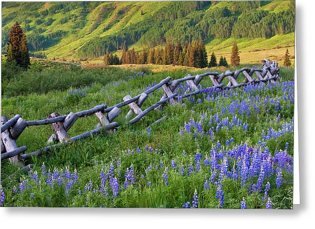 Usa, Colorado Lupines And Split Rail Greeting Card