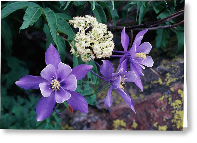 Usa, Colorado, Mutant Columbine Greeting Card by Jaynes Gallery