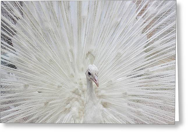 Usa, Fla, White Peacock In Breeding Greeting Card