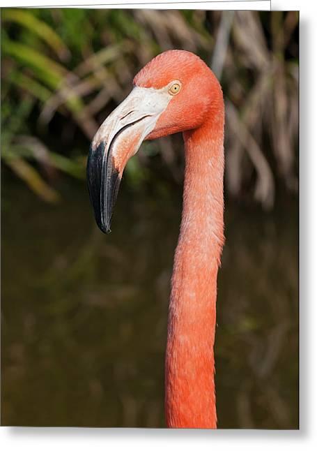 Usa, Florida American Flamingo Greeting Card by Michael Defreitas