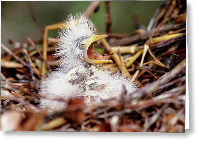 Usa, Florida Baby Cattle Egret In Nest Greeting Card