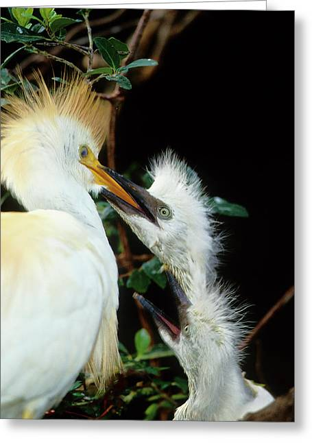 Usa, Florida Cattle Egret Feeds One Greeting Card by Jaynes Gallery