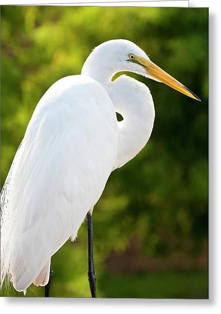 Usa, Florida Great Egret (ardea Alba Greeting Card by Michael Defreitas