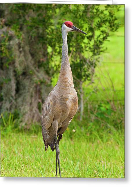 Usa, Florida Sandhill Crane (grus Greeting Card by Michael Defreitas