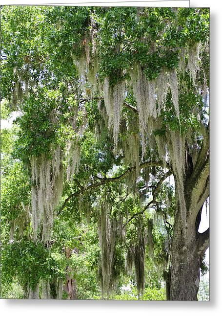 Usa, Florida Spanish Moss On Tree Greeting Card