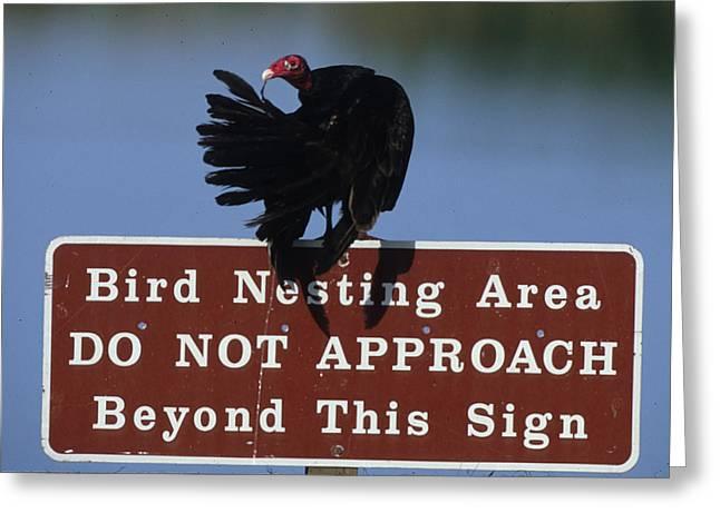 Usa, Florida Turkey Vulture Preens Greeting Card