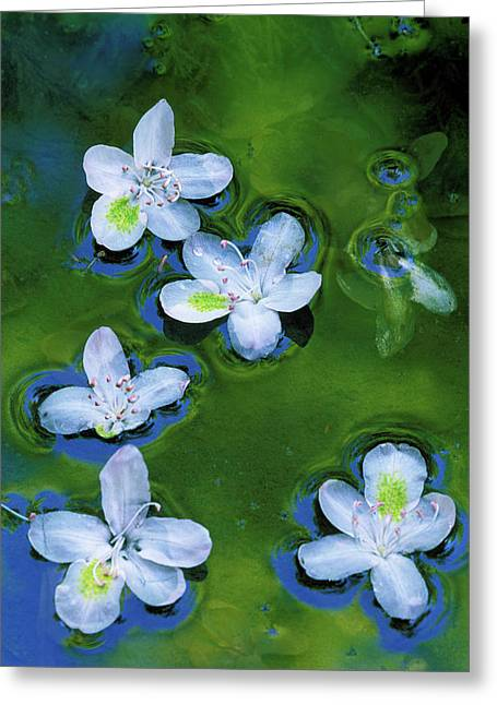 Usa, Maryland, Azalea Blossoms Floating Greeting Card by Jaynes Gallery