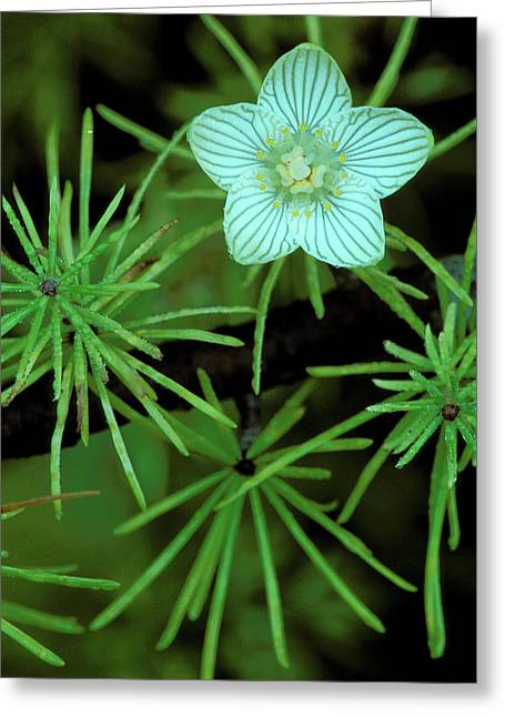 Usa, Michigan, Grass Of Parnassus Greeting Card by Jaynes Gallery