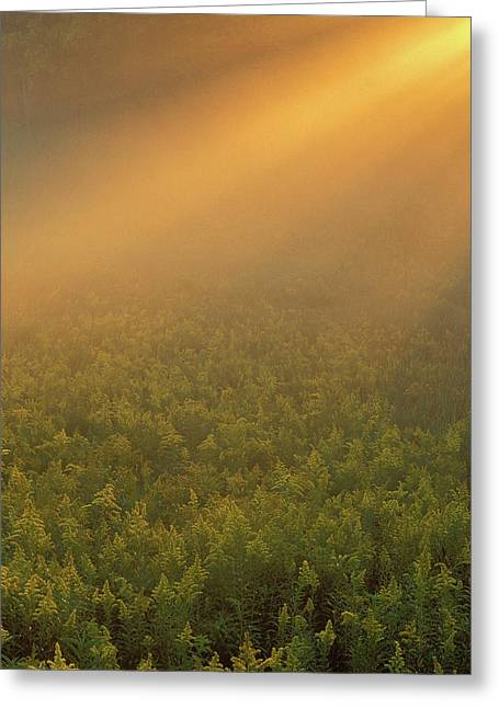 Usa, Michigan, Meadow Of Goldenrod Greeting Card