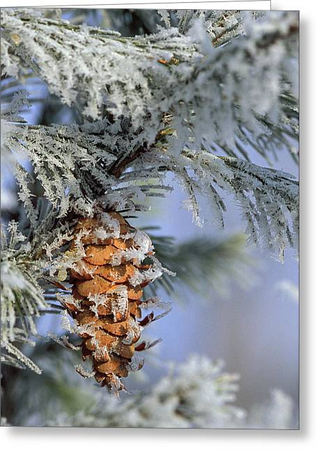 Usa, Michigan, Morning Light On Balsam Greeting Card