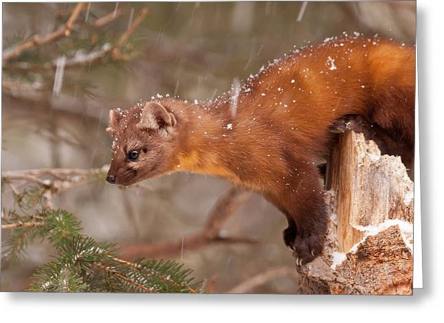 Usa, Montana Pine Marten (martes Greeting Card by Jaynes Gallery