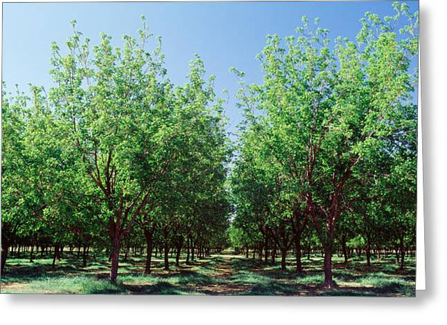Usa, New Mexico, Tularosa, Pecan Trees Greeting Card by Panoramic Images
