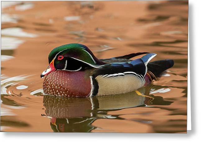 Usa, New Mexico Wood Duck Swimming Greeting Card by Jaynes Gallery
