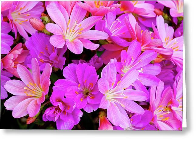Usa, Oregon Columbian Lewisia Flowers Greeting Card by Jaynes Gallery