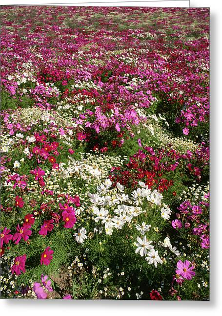 Usa, Oregon, Cosmos Flower Greeting Card by Stuart Westmorland