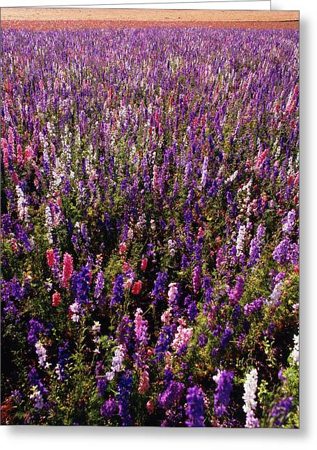 Usa, Oregon, Delphinium Field Greeting Card by Stuart Westmorland