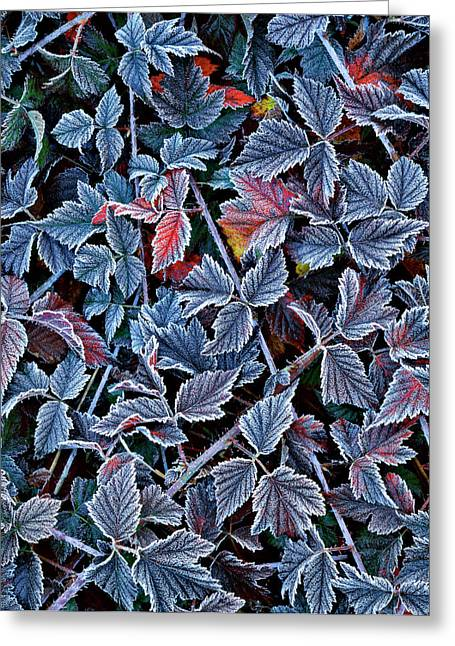 Usa, Oregon Frost On Wild Blackberry Greeting Card