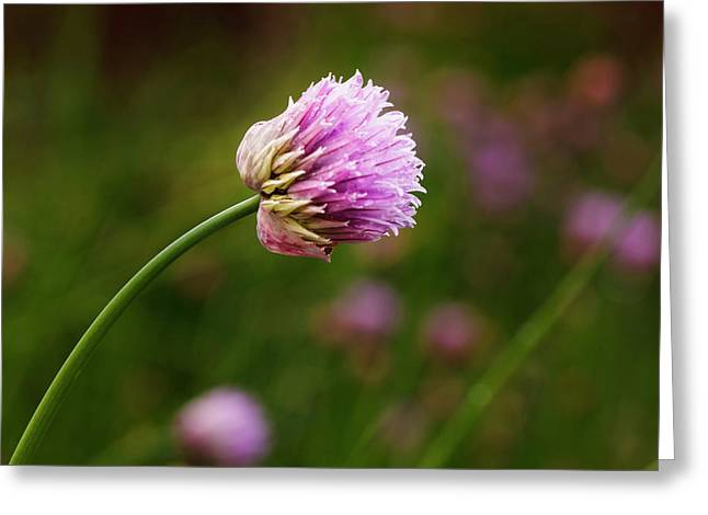 Usa, Oregon, Keizer, Chives In Backyard Greeting Card by Rick A Brown