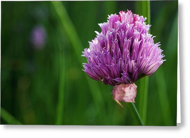 Usa, Oregon, Keizer, Chives In Bloom Greeting Card by Rick A Brown