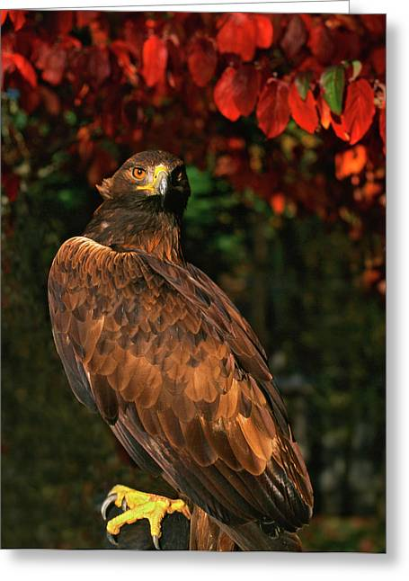 Usa, Oregon Portrait Of Red-tailed Hawk Greeting Card