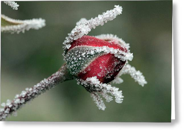 Usa, Oregon Roses Draped With Frost Greeting Card by Jaynes Gallery