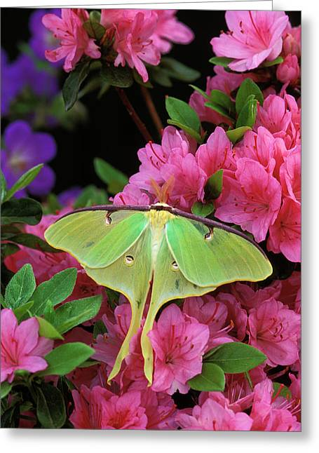 Usa, Pennsylvania, Luna Moth On Pink Greeting Card by Jaynes Gallery