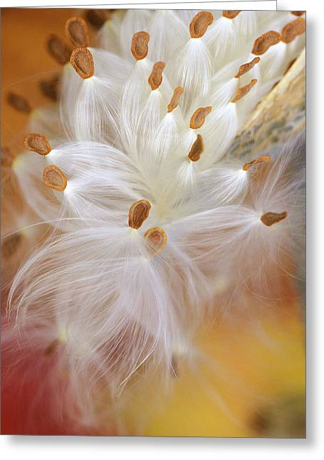 Usa, Pennsylvania, Milkweed Opening Greeting Card