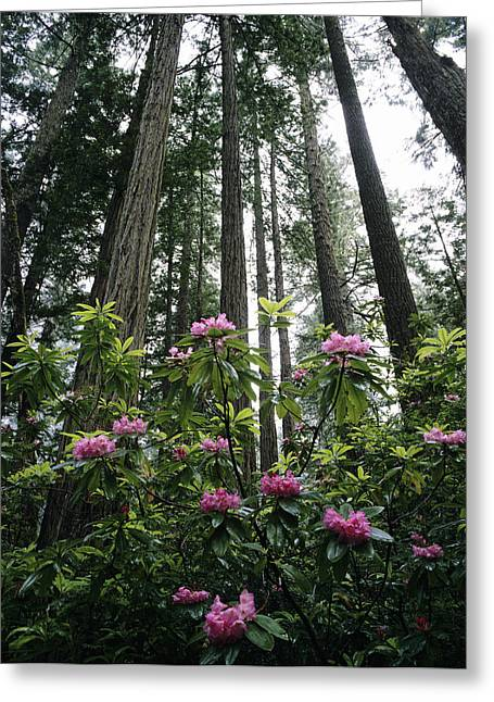 Usa, Rhododendrons And Coast Redwoods Greeting Card by Michael Howell