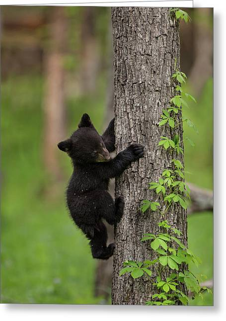 Usa, Tennessee Black Bear Cub Climbing Greeting Card by Jaynes Gallery
