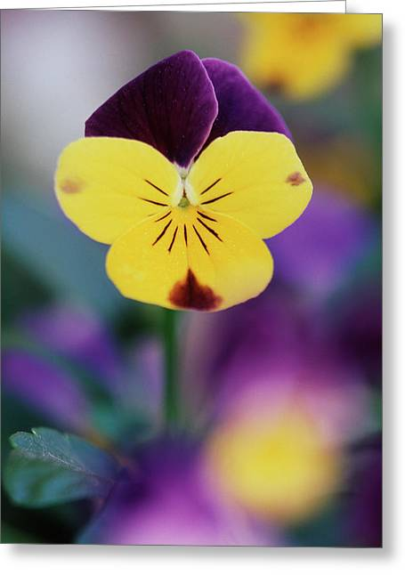 Usa, Utah, Close-up Of Viola Tricolor Greeting Card by Scott T. Smith
