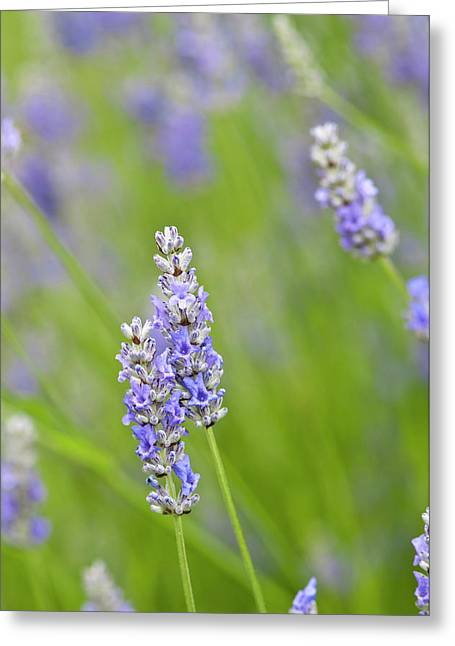 Usa, Wa Cultivated Worldwide Lavender Greeting Card