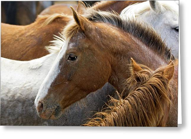 Usa, Washington, Malaga, Horse Head Greeting Card by Jaynes Gallery