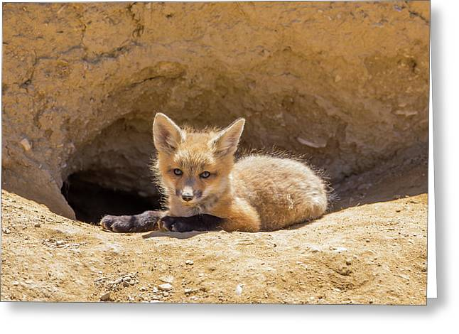 Usa, Wyoming, Lincoln County, A Red Fox Greeting Card