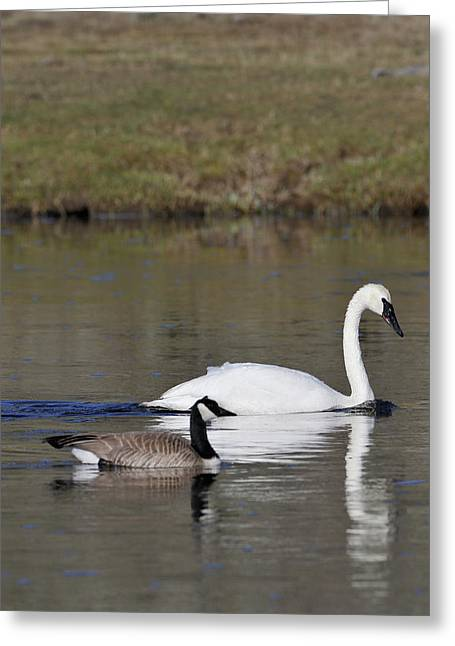 Usa, Wyoming, Trumpeter Swan, Canada Greeting Card by Gerry Reynolds