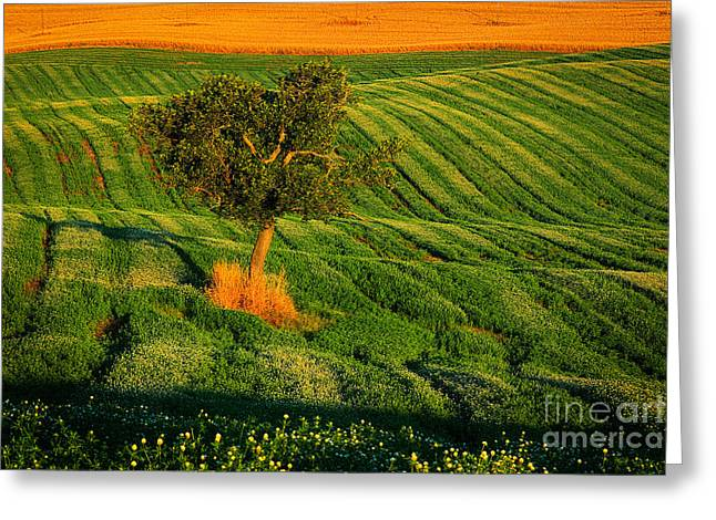 Val D'orcia Tree Greeting Card by Inge Johnsson