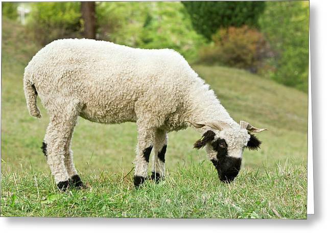 Valais Blacknose Sheep Grazing Greeting Card