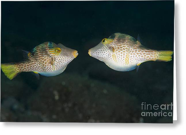 Valentinnis Sharpnose Puffer Face Greeting Card by Steve Jones