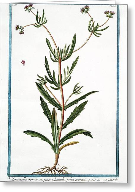 Valerianella Arvensis Greeting Card by Rare Book Division/new York Public Library