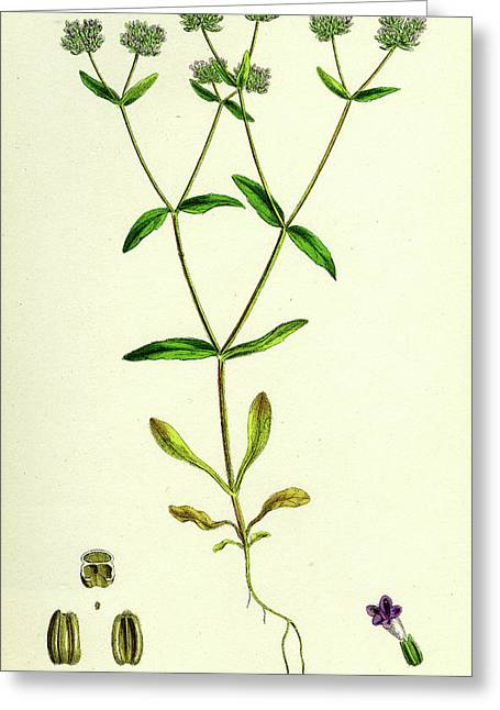 Valerianella Carinata Carinated Lambs-lettuce Greeting Card