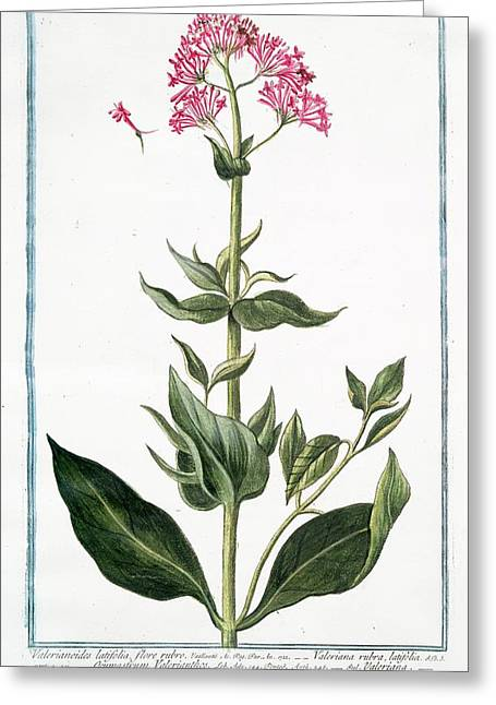 Valerianoides Latifolia Greeting Card by Rare Book Division/new York Public Library