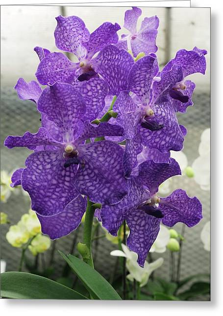 Vanda Orchid (vanda 'blue Magic') Greeting Card